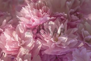 Pink Blossom Background