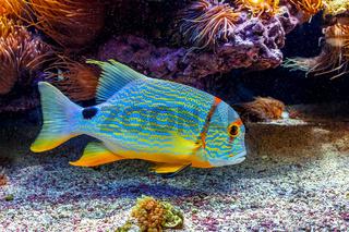 Colorful exotic fish in aquarium.