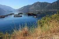 Bed of mussels in the bay of Kotor (Montenegro)