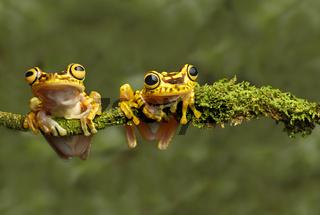 Zwei Imbabura Laubfrösche (Hypsiboas pictuator), Ecuador