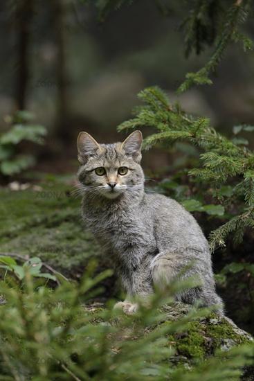 in its typical habitat... European wild cat *Felis silvestris silvestris*