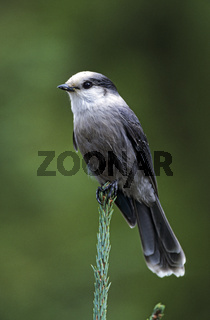 Meisenhaeher sitzt auf einer Fichte und wartet auf Essensreste / Camp Robber sits on a spruce tree and waits for leftovers - (Gray Jay - Whisky Jack) / Perisoreus canadensis