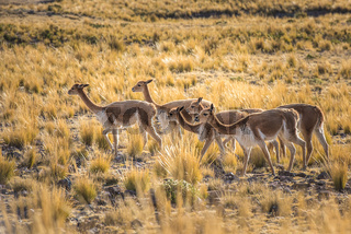 Group of vicunas in the peruvian Andes