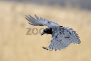 aufgefächerte Flügel... Kolkrabe *Corvus corax*