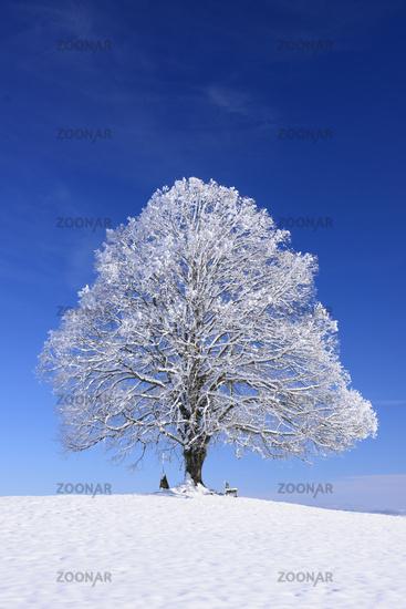 single big linden tree at winter in snow