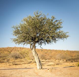 Acacia Tree Botswana Africa