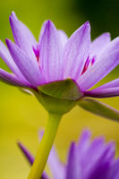 Water lily, cloe-up