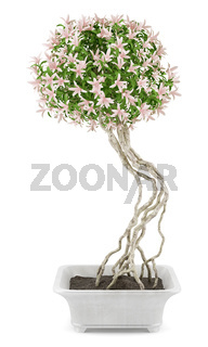 potted flowering tree isolated on white background
