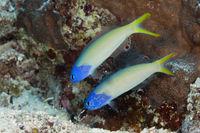 Paar Veilchen-Torpedobarsche, Australien