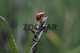 Siebenpunkt-Marienkäfer bei der Blattlausjagd