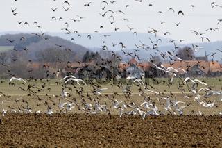 Vogelschwarm aus Staren und Möwen