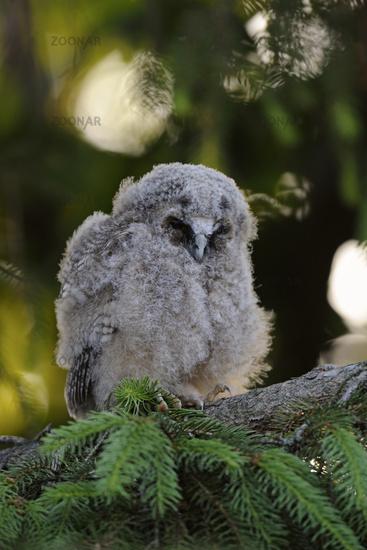 sleeping nestling... Long-eared Owl *Asio otus*