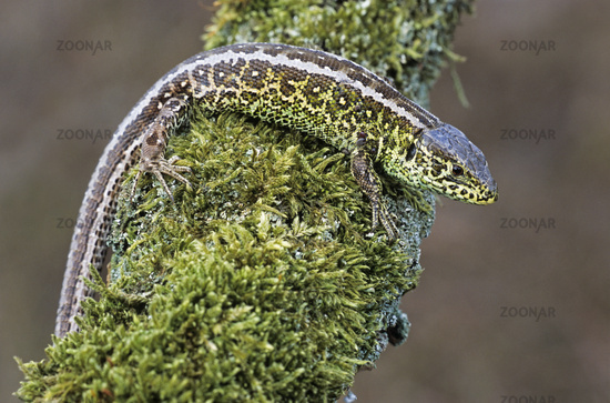 Sand Lizard can reach up to 25cm