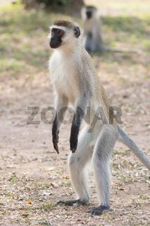 Male vervet monkey standing on hind legs
