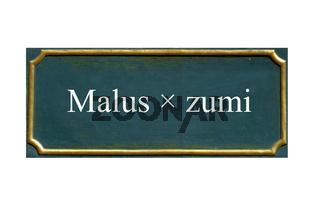 schild Malus x zumi, Zierapfel