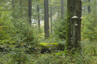 Old Mossy Tree Trunk in Beech Forest (Fagus sylvatica), Germany