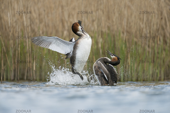 in territorial fight... Great Crested Grebes *Podiceps cristatus*