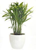 in a white pot on a white background a green palm tree as a houseplant