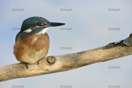 Portrait...  Common Kingfisher *Alcedo atthis*