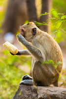 monkey eats corn sitting on stone
