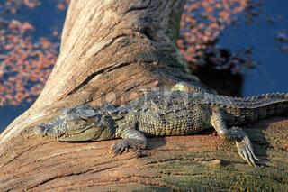 Baby Crocodile Sunbathing