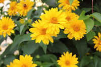 Blossoming flowers in yellow