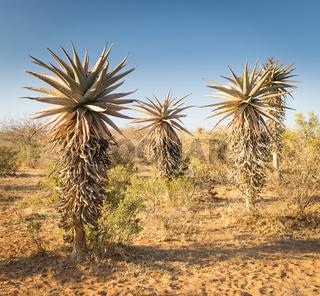 Aloe Vera Trees Botswana