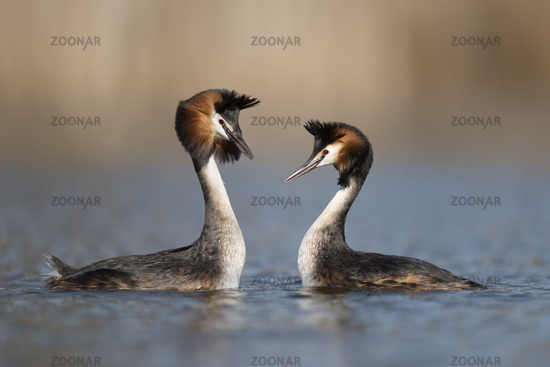 Great Crested Grebes *Podiceps cristatus*