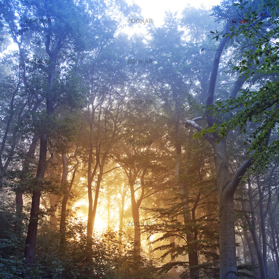 sunrise in misty forest, Witten, Ruhr Area, North Rhine-Westphalia, Germany