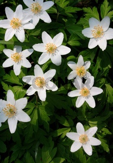 Anemone, weiße Blütensterne