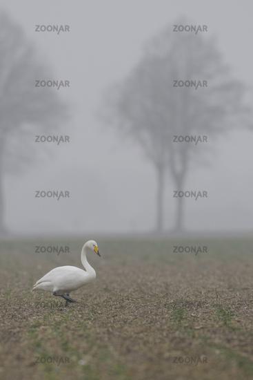 rare winter guest... Whooper Swan *Cygnus cygnus*