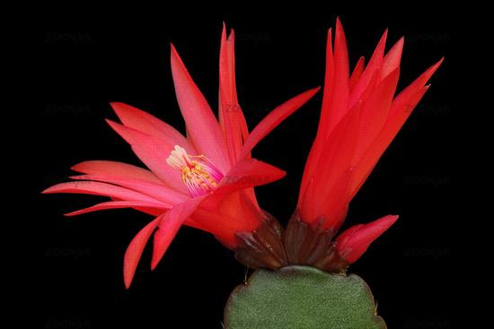 Cactus bloosoms