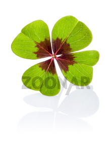 Four-leaf clover on a white background