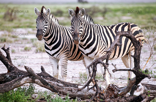 Plains Zebras, Equus quagga, Namibia