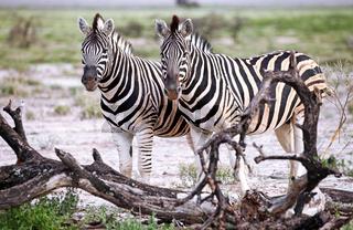 Zebras, Steppenzebras, Etosha, Namibia, Plains Zebras, Equus quagga