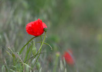 Red poppy with green grass in the background