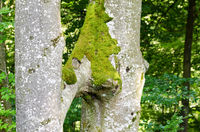 Two Beech Trees Grow Together, Inosculation