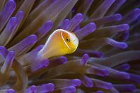 Halsband-Anemonenfisch, Australien