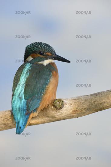 iceblue...  Common Kingfisher *Alcedo atthis*