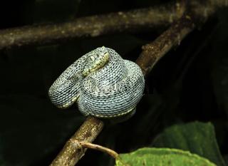 Amazonas Lanzenotter (Bothriopsis bilineata)