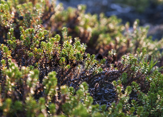 Crowberry plants, close-up
