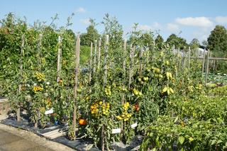 Lycopersicum esculentum, Tomate, Tomato, Sorten