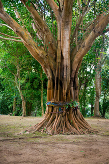 Sacred, Ordained Tree in Southeast Asia