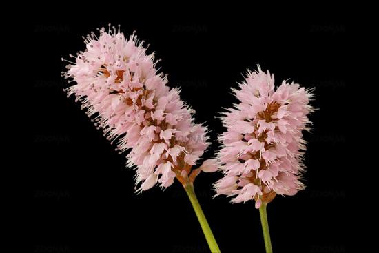 Bistort flower (Bistorta officinalis)