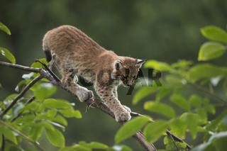 vorsichtig... Eurasischer Luchs *Lynx lynx*