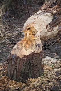Biberfraß, gefällter Baum