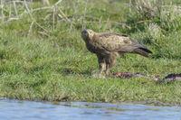 Male Lesser Spotted Eagle, Aquila pomarina