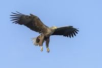 White Tailed Eagle, Haliaeetus albicilla