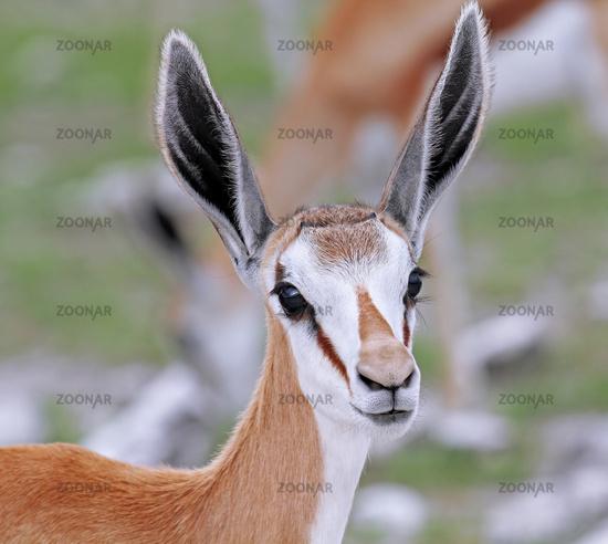 Young Springbok, Etosha, Namibia