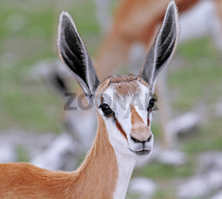 Junger Springbock, Etosha, Namibia, Antidorcas marsupialis, young Springbok
